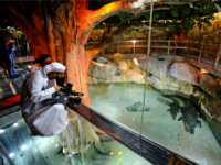 "An Emirati cameraman films ""King Croc,"" a saltwater crocodile and his female companion of 20 years now residing in a special enclosure at Dubai Aquarium & Underwater Zoo, in Dubai, United Arab Emirates, Tuesday, June 17, 2014. At about five meters long (16 feet) and weighing over 750 kilograms (1653 …"