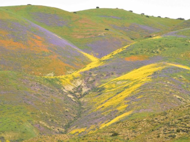 Superbloom California (Robyn Beck / AFP / Getty)