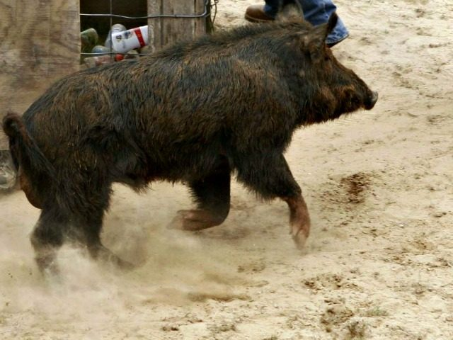 Wild Boars Killed ISIS Terrorists as They Prepared an Attack