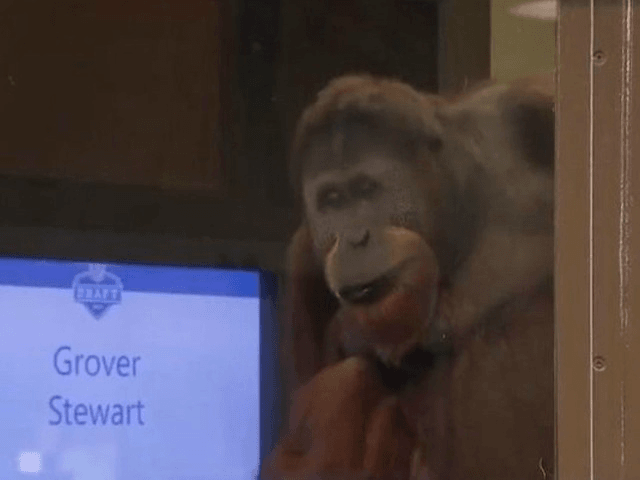 Indianapolis Colts utilized an orangutan to announce their 7th round picks in the 2017 NFL Draft