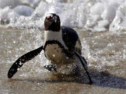 Penguin, Ocean, Climate Change-AP