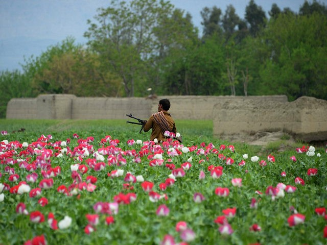 TOPSHOT - An Afghan security personnel stands guard as others destroy an illegal poppy crop in the Surkh Rod district of eastern Nangarhar province on April 5, 2017. / AFP PHOTO / NOORULLAH SHIRZADA (Photo credit should read NOORULLAH SHIRZADA/AFP/Getty Images)