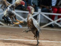 ANTANANARIVO, MADAGASCAR - DECEMBER 06: Gamecocks fight at a cockpit as their owners and the public make bets in Antananarivo, Madagascar on December 06, 2014. Cockfight is a blood sport between two roosters which are specially bred birds, conditioned for increased stamina and strength. Cock fighting in Madagascar dates back to the 18th century when it entertained the Royal family. Still practiced all over the island of Madagascar for entertainment, it is also a source of income for many breeders. (Photo by Ihsaan Haffejee/Anadolu Agency/Getty Images)