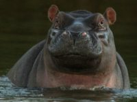 University of Arizona Scholar Identifies as a Hippopotamus in Academic Journal