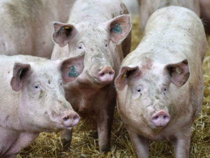Experts: Chinese Farmers Injecting Pigs with 'Illicit Vaccines' Fueling African Swine Fever