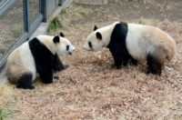 Female giant panda Shin Shin (L) and male giant panda Ri Ri (R) at the Ueno Zoo in Tokyo mated in February for the first time in four years