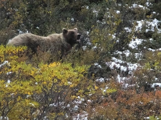 "In this Aug. 31, 2015 file photo, a grizzly bear looks up from foraging in Denali National Park and Preserve, Alaska. There's a basic rule on what to do if you encounter a bear in the wilderness. That says, ""If it's brown, you lie down. If it's black, you fight …"