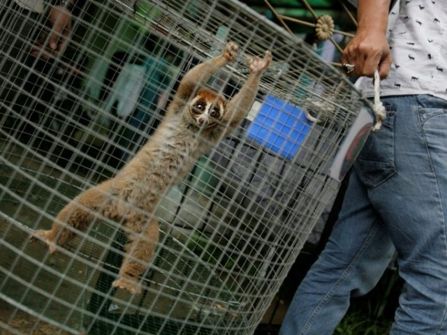 Indonesian authorities have detained an alleged wildlife trafficker and seized nine protected slow lorises, like the one shown being rescued in Aceh in 2015, and a wreathed hornbill