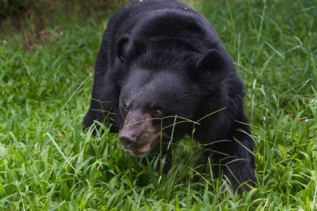 Vietnam has agreed to rescue more than 1,000 bears from illegal farms across the country to end the traditional medicine trade in the creatures' bile