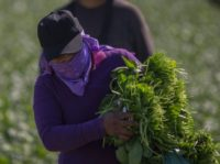 Immigrant farm workers harvest spinach field as US President Donald Trump takes steps to drastically increase deportations on February 24, 2017 near Coachella, California.