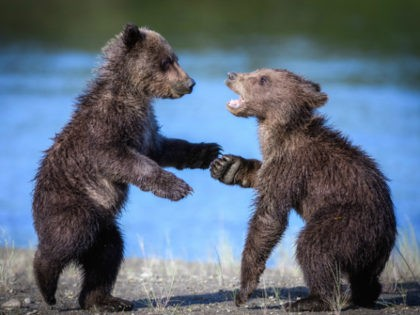 A pair of grizzly bear cubs play in Lake Clark National Park & Preserve, in Port Alsworth, Alaska, in 2016. Congress is considering legislation that would allow hunting of bears in their dens, including cubs, in Alaska's national preserves, by prohibiting the National Parks Service from restricting such practices. Solent …