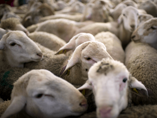 Sheeps wait to be killed in a slaughterhouse in La Courneuve on the first day of the Muslim holiday of Eid al-Adha, on October 26, 2012 outside of Paris.