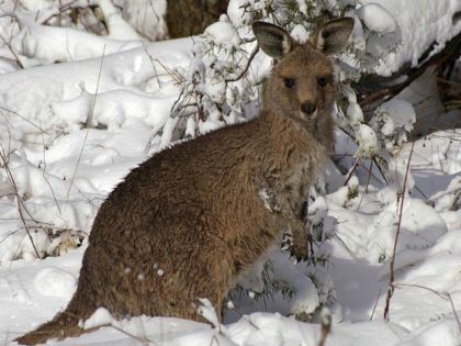 kangaroo in the snow