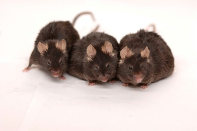 New York City mice carry life-threatening superbugs, viruses, study finds
