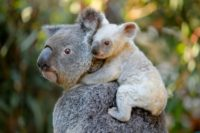 This undated handout from the Australia Zoo received on August 22, 2017 shows a white koala joey on her mother Tia at the Australia Zoo on Queensland's Sunshine Coast