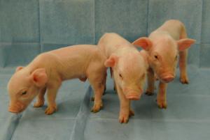 Gene editing may make pig-to-human organ transplants a reality