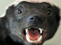 Honey Badger Getty Images
