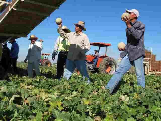 Foreign farm workers. (AP File Photo: Gosia Wozniacka)