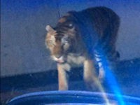 Loose Tiger Shot Dead in Atlanta After It Attacked Dog, Terrified Residents