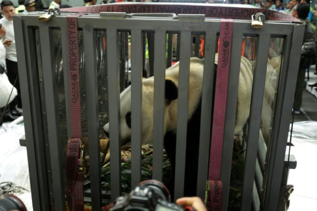 One of two giant pandas stays inside a cage as they arrive at the Sukarno-Hatta airport in Indonesia