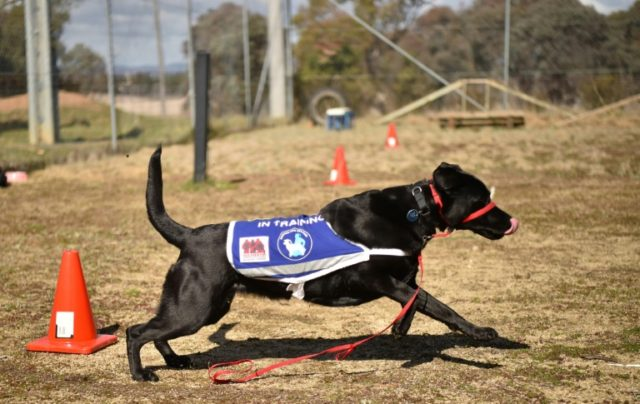 """They are nicknamed """"pills with four legs"""" -- highly-trained dogs helping ex-Australian military veterans overcome the mental scars of war"""