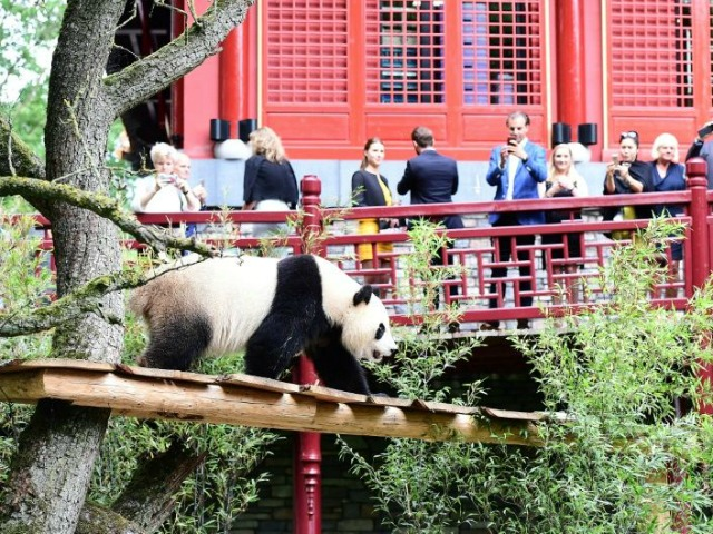 Panda fans take photos of the new panda stars making their public debut at a Dutch zoo