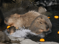 Capybaras in a bath at Izu Shaboten Park in Japan