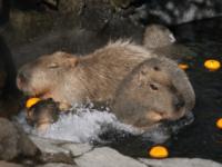 Capybaras in a bath at Izu Shaboten Park in Japan