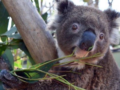 A handout photo shows Irene the koala, who escaped from her enclosure at the Australian Reptile Park at the start of her first mating season, impatient to find a partner