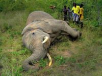 Dead African Elephant