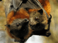A mother and baby grey-headed Flying fox rest in a tree before flying out to feed Sunday, March 13, 2011 at a bat colony in western Sydney, Australia. A natural food shortage caused by rains,flooding and cyclones has forced flying foxes who normally feed on pollens and nectars into suburban …