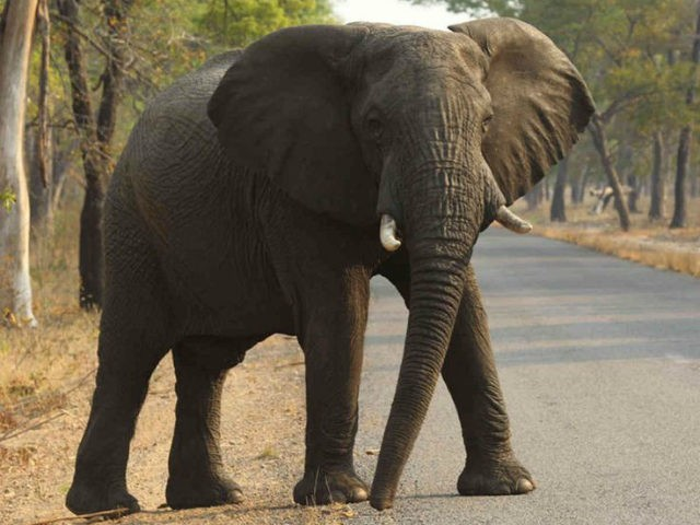 In this Thursday, Oct. 1, 2015 file photo an elephant crosses a road in the Hwange National Park, in Hwange, Zimbabwe. (AP Photo/Tsvangirayi Mukwazhi, File)