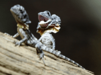 A two-week old Frill-necked lizard rears up in defense at Wild Life Park at Darling Harbour in Sydney, Australia, Wednesday, Feb. 15, 2012. (Photo/Rob Griffith)