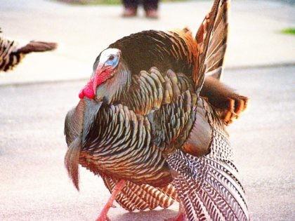 wild turkey (Flickr)