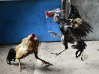cockfighting