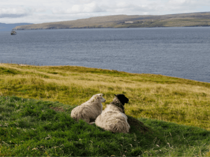 This picture taken on September 13, 2017, shows sheep in Nolsoy Island, one of the 18 Faroe Islands located between the North Atlantic Ocean and Norwegian Sea. The Faroe Islands, home to some 50,000 residents, draw hikers and nature enthusiasts and are an autonomous region of Denmark. / AFP PHOTO …