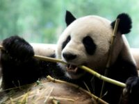 Adult pandas produce about 10 kilos of fibre-rich poo a day, and 50 kilos of food waste from the bamboo husks they spit out