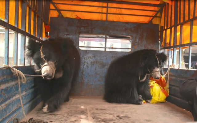 Two rescued bears are transported from a police station in Nepal's southern Rautahat district to the Parsa Wildlife Reserve, as seen in a photo taken on December 20, 2017 and released by World Animal Protection