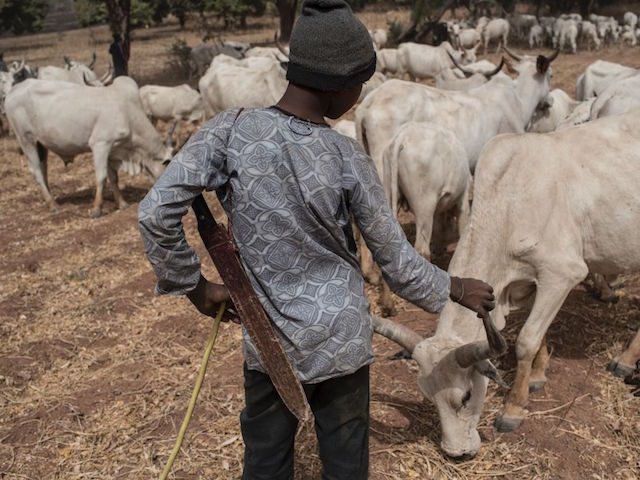 A Fulani herding boy interacts with a cow in a field outside Kaduna, northwest Nigeria, on February 22, 2017. Long-standing tensions between herdsmen and farmers have flared up again in Kaduna state, northern Nigeria, leaving possibly hundreds dead in tit-for-tat violence. Last weekend at least 21 people were killed and …