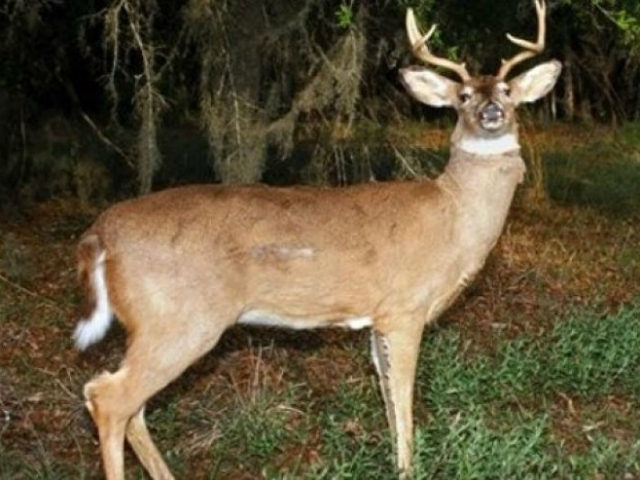 The Washington State Fish and Wildlife Department is using mechanical deer covered with real animal skin to catch poachers and licensed hunters who stay out beyond legal hours.