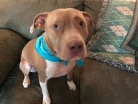 Ruby, a three-year-old pit bull, rescued her owners from deadly carbon monoxide poisoning after barking to let them know something was amiss.