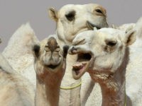 Camel-Based Baby Formula to Hit Shelves in Dubai