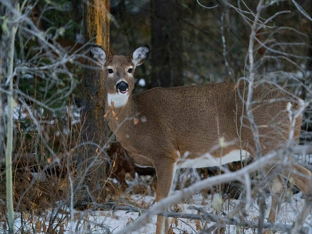 A white tail deer stands among the trees on November 27, 2017 near Banff, Alberta. / AFP PHOTO / DON EMMERT (Photo credit should read DON EMMERT/AFP/Getty Images)