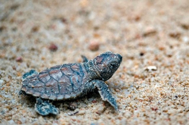 Over 100 endangered turtles hatch in Singapore