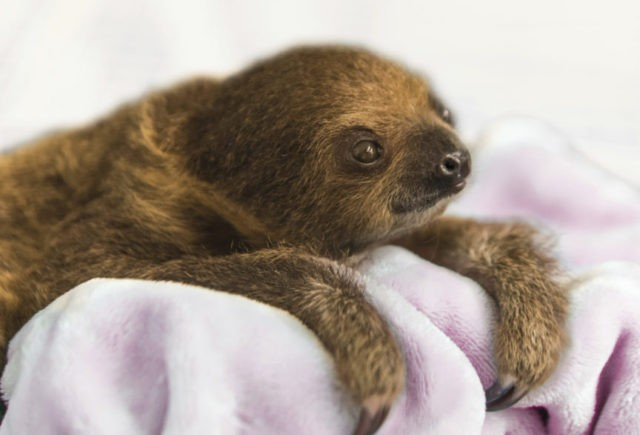"This Dec. 8, 2017, photo provided by the National Aviary shows a female Linnaeus' two-toed sloth born Aug. 21, 2017, named Vivien after ""Gone with the Wind"" actress Vivien Leigh and hand-raised to serve as an educational ambassador for the National Aviary in Pittsburgh. Caretakers at Pittsburgh's indoor zoo dedicated …"