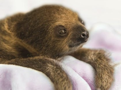 """This Dec. 8, 2017, photo provided by the National Aviary shows a female Linnaeus' two-toed sloth born Aug. 21, 2017, named Vivien after """"Gone with the Wind"""" actress Vivien Leigh and hand-raised to serve as an educational ambassador for the National Aviary in Pittsburgh. Caretakers at Pittsburgh's indoor zoo dedicated …"""