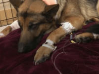 VIDEO: Hero German Shepherd Shot, Beaten Defending Teenager from Home Invaders