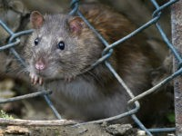 TODDINGTON, UNITED KINGDOM - OCTOBER 19: A brown rat seen entering the lorry park on October 19, 2016 in Toddington, England. There is a massive infestation of Brown rats at the Toddington Services on the M1 motorway. The Brown rat (rattus norvegicus) is the carrier of many diseases including leptospirosis and Weil's disease. The rats appear to live in the boundary between the service station and the lorry park and feed on what the lorry drivers throw out for them. The ground behind the lorries is strewn with everything from discarded paper to food stuffs. The toilets are just 100m away and there are bins all around the site. The place smells and is like a latrine with drivers peeing all around their vehicles. In general the site is clean and tidy apart from this area. Stand still for a moment and the rats appear in broad daylight, often several at a time gorging on the free food. PHOTOGRAPH BY Tony Margiocchi/Barcroft Images London-T:+44 207 033 1031 E:hello@barcroftmedia.com - New York-T:+1 212 796 2458 E:hello@barcroftusa.com - New Delhi-T:+91 11 4053 2429 E:hello@barcroftindia.com www.barcroftimages.com (Photo credit should read Tony Margiocchi/Barcroft Images / Barcroft Media via Getty Images)