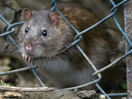 TODDINGTON, UNITED KINGDOM - OCTOBER 19: A brown rat seen entering the lorry park on October 19, 2016 in Toddington, England. There is a massive infestation of Brown rats at the Toddington Services on the M1 motorway. The Brown rat (rattus norvegicus) is the carrier of many diseases including leptospirosis …