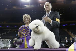 Flynn the Bichon Frisé wins Best in Show at Westminster 2018
